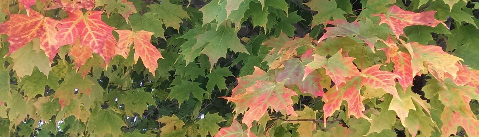 Vermont Autumn Leaves