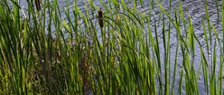 Lakeside Cattails