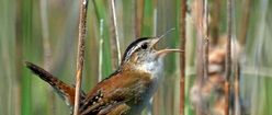 Marsh Wren Song