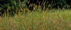 Foxtail Field