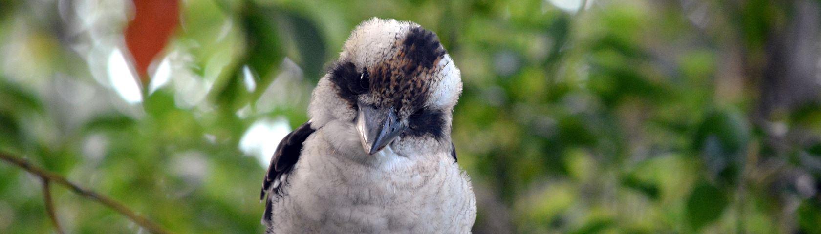 Pensive Kookaburra