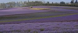 Australian Lavendar Farm