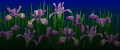 Irises Desktop