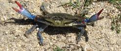 Jersey Crab