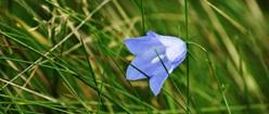 Blue Harebell