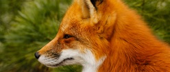Foxy Looking Profile