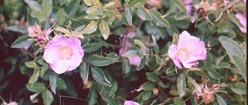 Maine Beach Roses