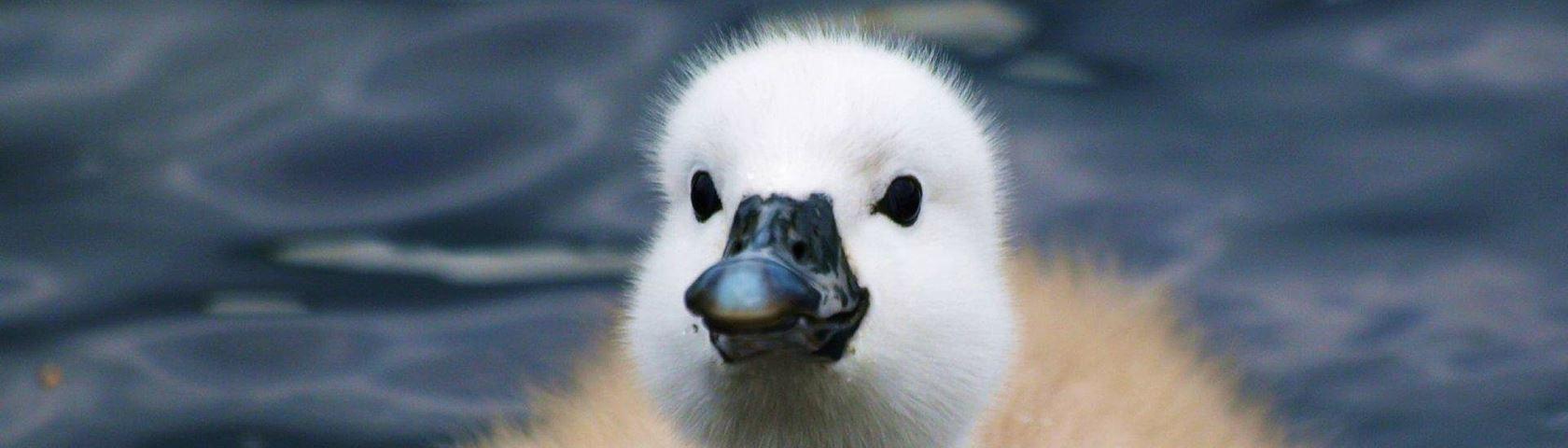 Baby Swan Swimming Free