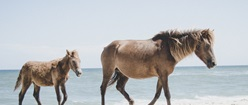 Assateague's Equine Residents