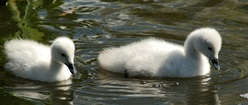 Baby Cygnets Out for a Swim