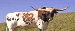 Prize Texas Longhorn Bull