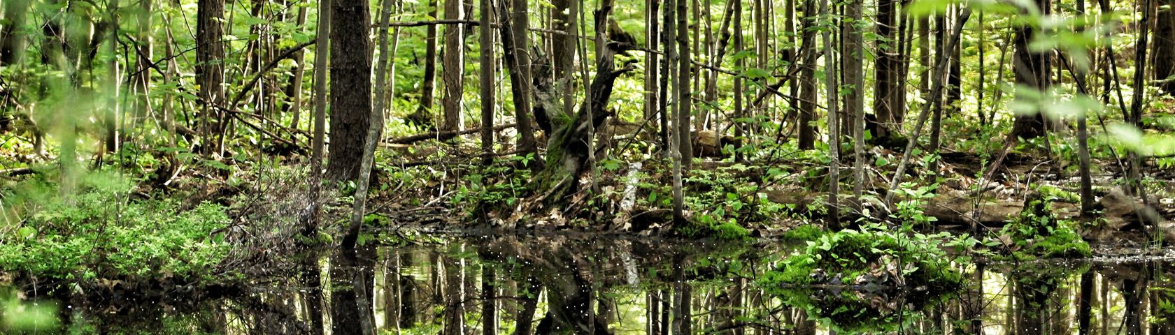 Woodland Marsh