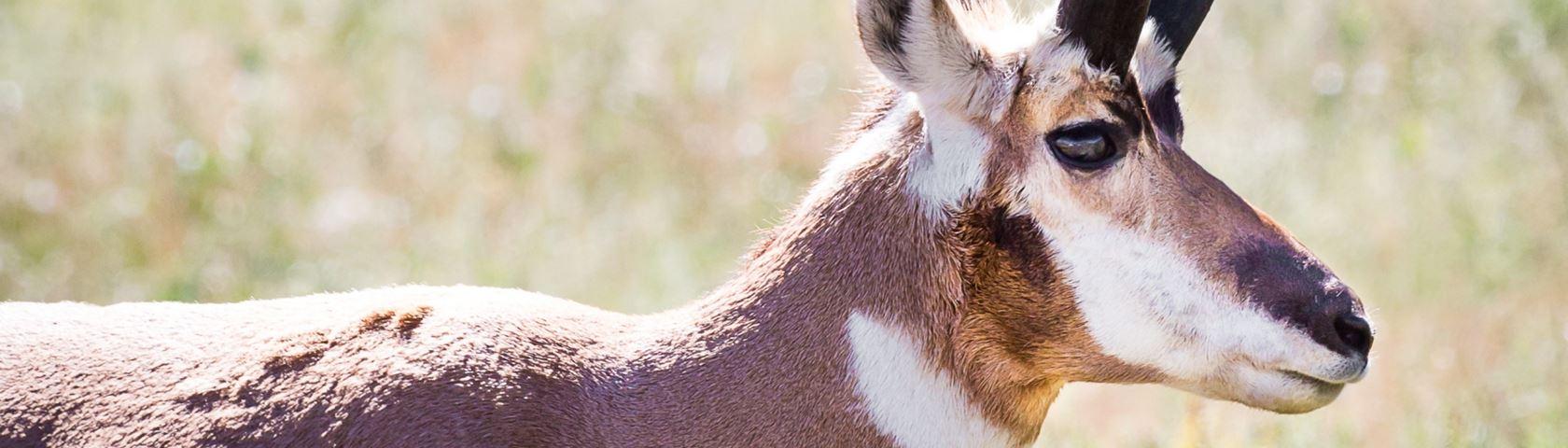 Pronghorn Antelpoe
