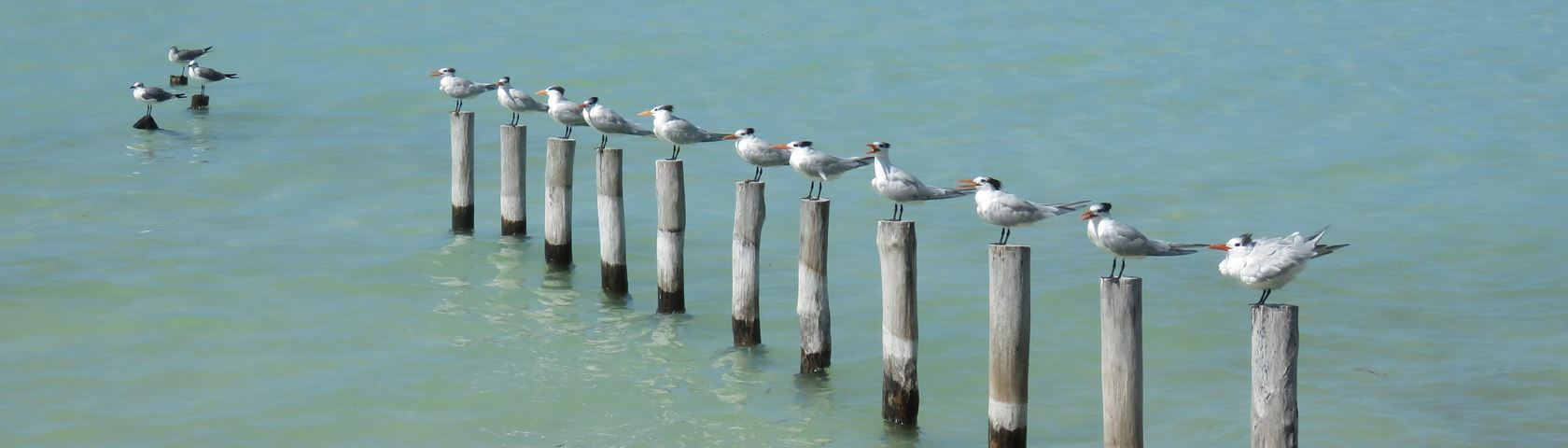 Crested Gulls in a Row