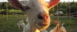 Goat 17