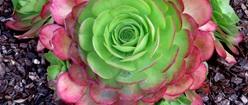 Cactus Color