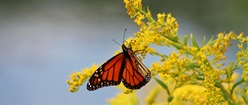 Monarch Gold