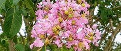Crepe Murtle Blossom