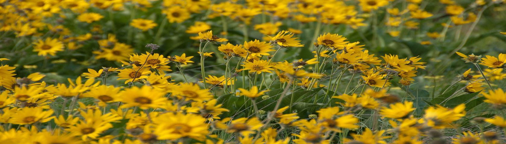 A Field of Balsamroot