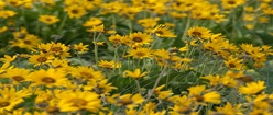 A Field of Balsamroot