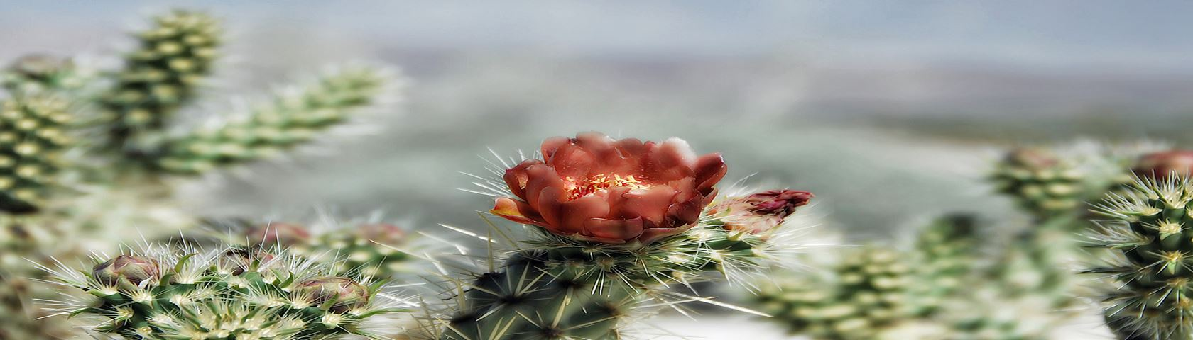 Wolf's Cholla Cactus Flower