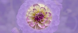 Dahlia with Lavender Background