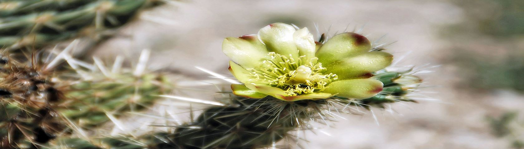 Silver Cholla Cactus Flower 2