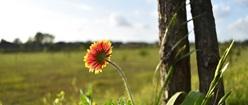 Texas Fireflower