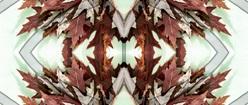 Oak Leaves Symmetry