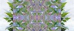 Soft Symmetrical Design and Oak Leaves