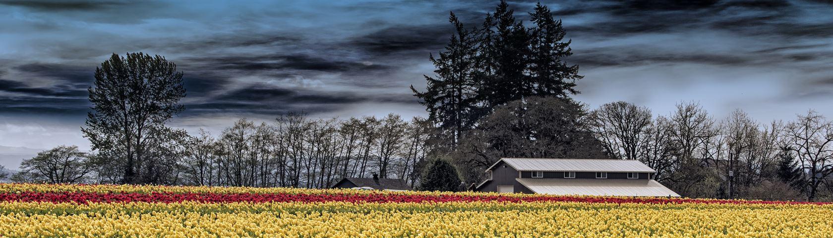 Moon Rise Over Tulip Farm