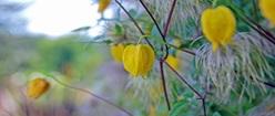 Chinese Lantern flowers
