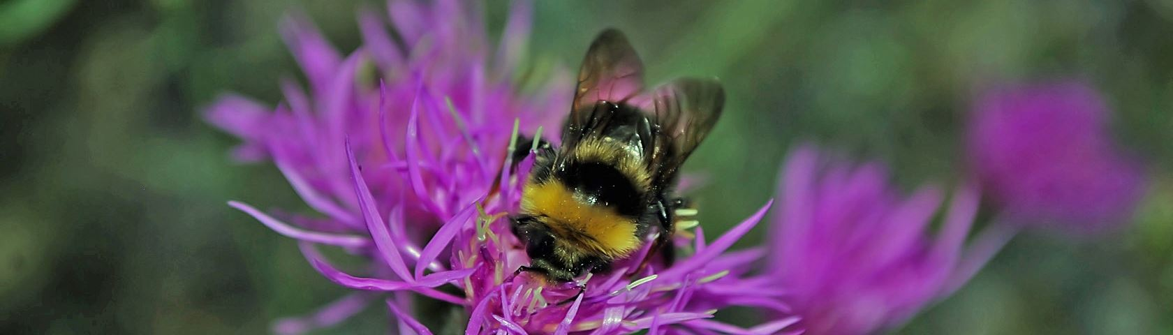 Forest Bumble Bee