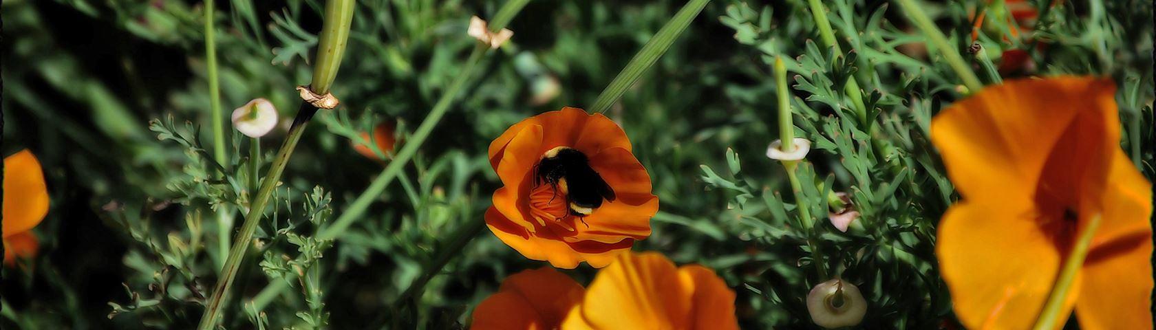 Poppie Pollen