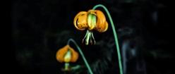 Wild Tiger Lilys 2