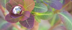 Smoke Bush Droplet