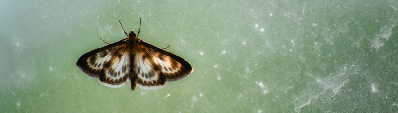 Fringed Butterfly