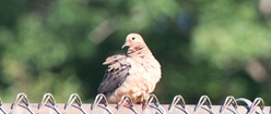 Mourning Dove in Summer