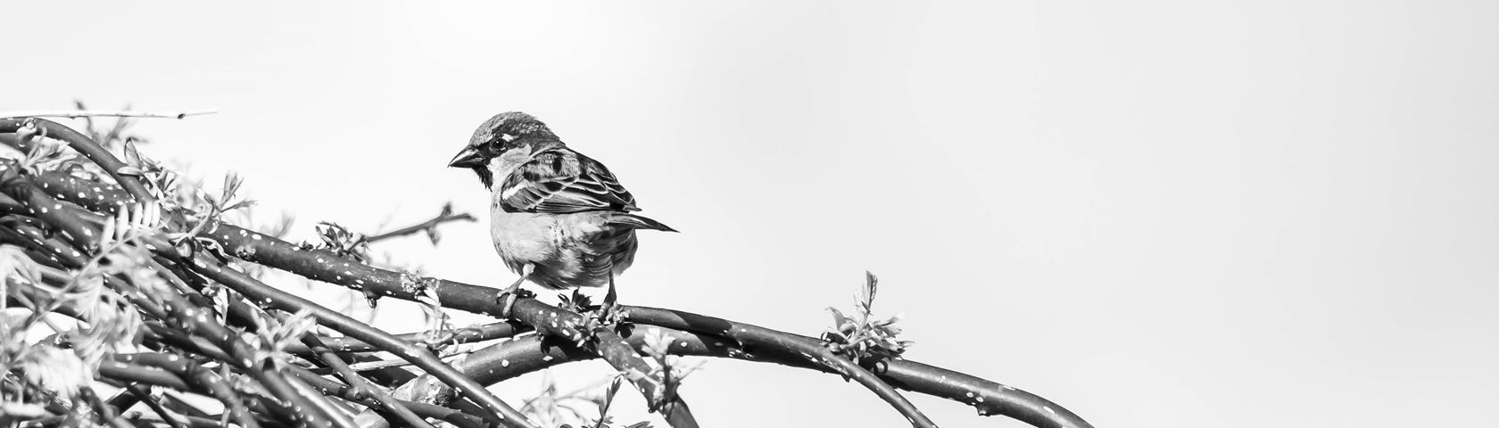 Sparrow High Key
