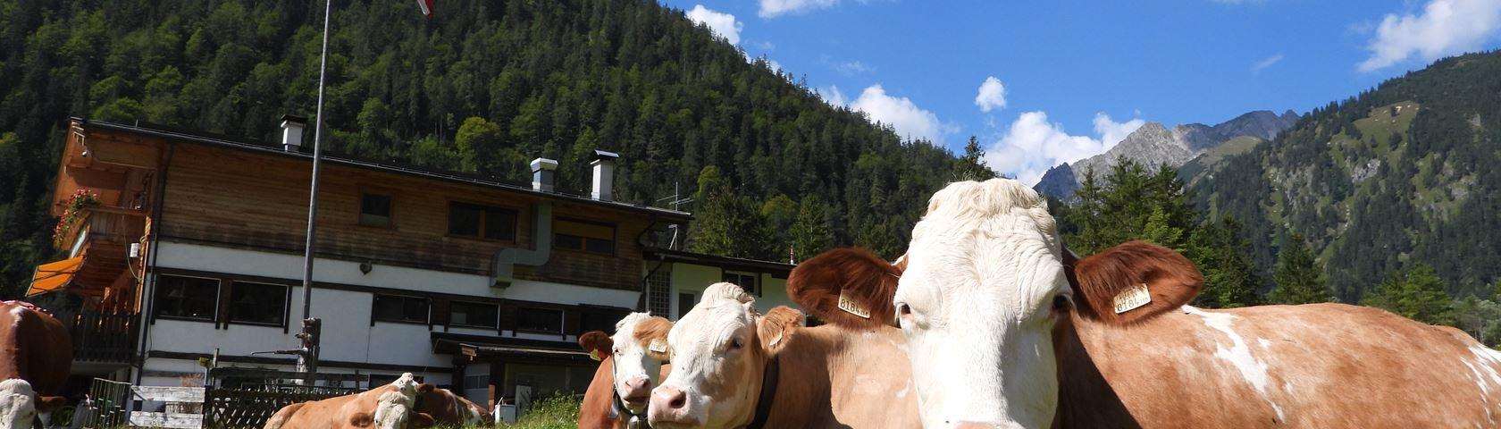 Mountain Cows in Pertisau Austria