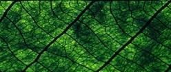 Green Leaf Up-Close