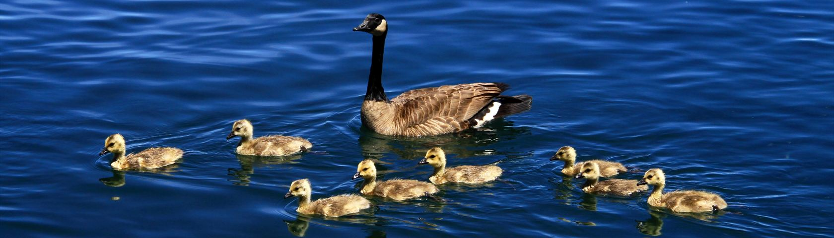 Lake Tahoe goose with babies