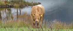 Cow Near Water