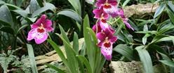 Purple Orkideer