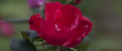 Central Rose