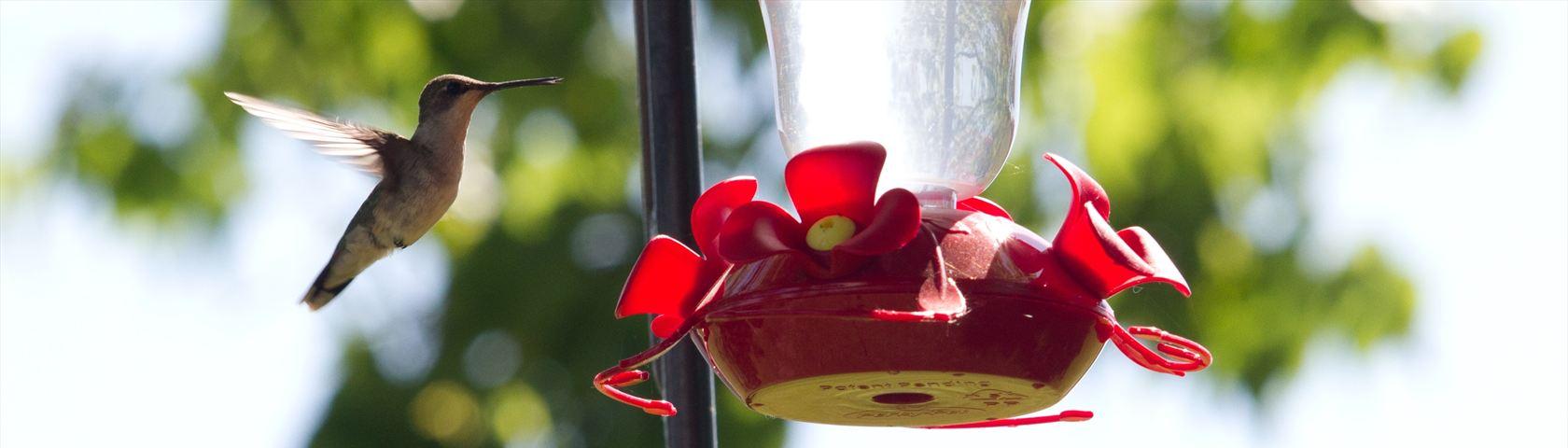 Hovering Hummingbird Near a Feeder