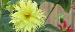 Pale yellow flower