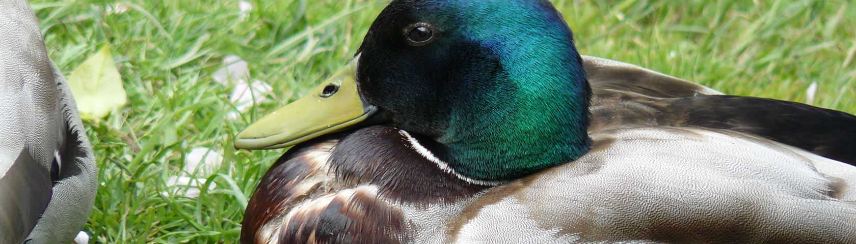 Duck at Rest