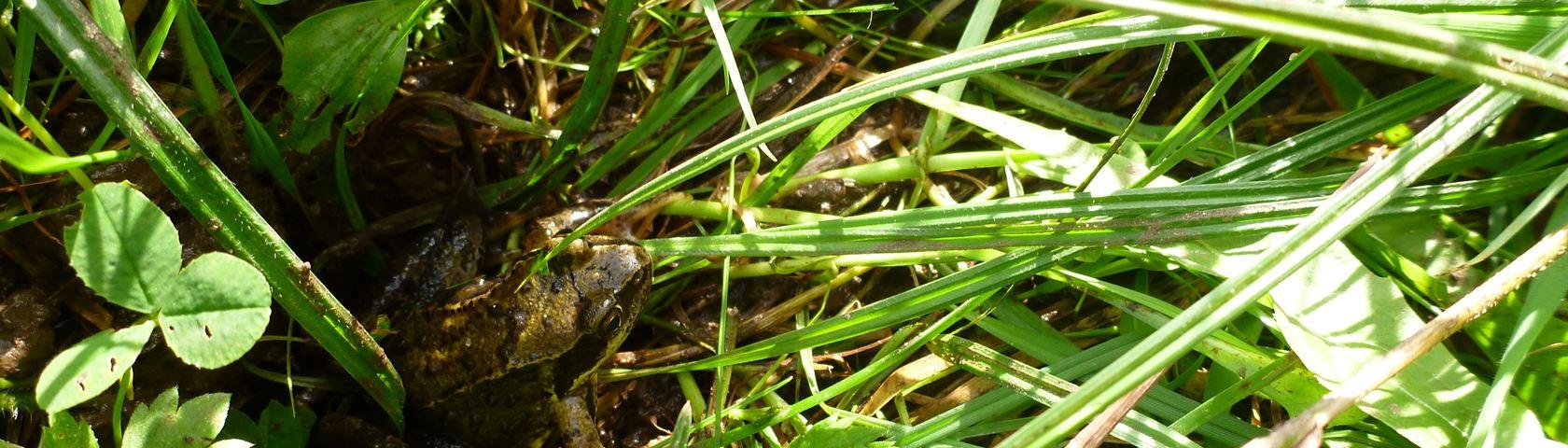 Hiding Frog