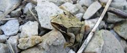 Frog on Rocks